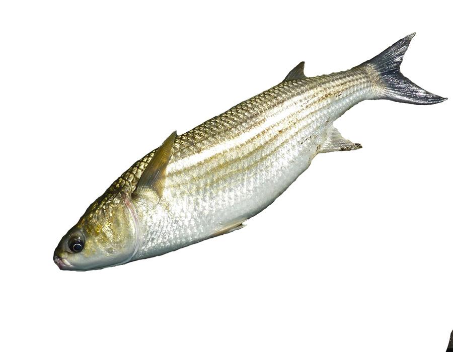 English Fish (0)